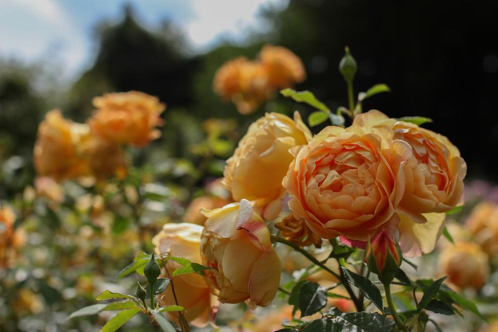 David Austin roses; breed of roses
