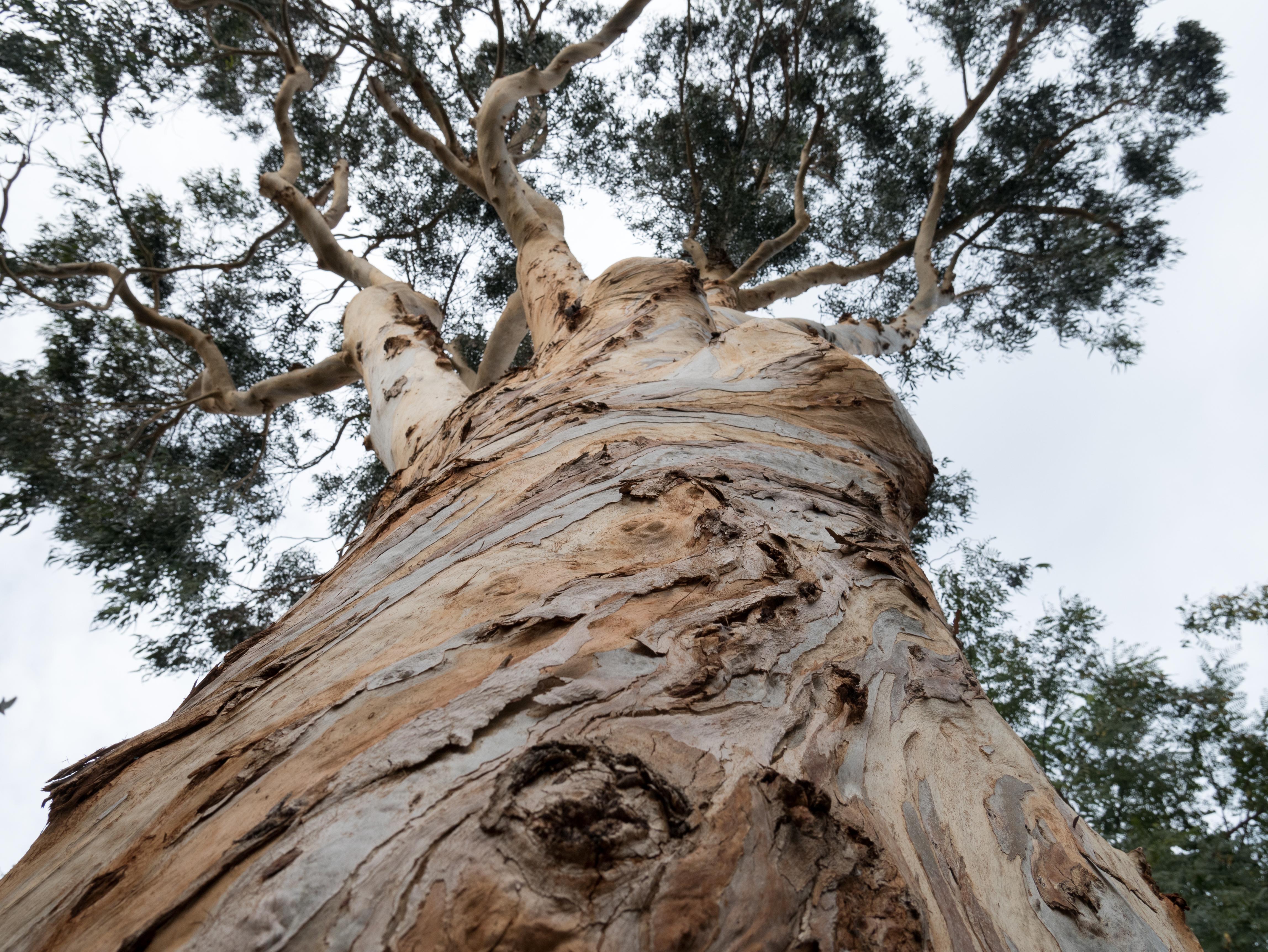 Southern Blue Gum - Eucalyptus globulus