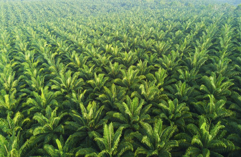 palm tree plantation