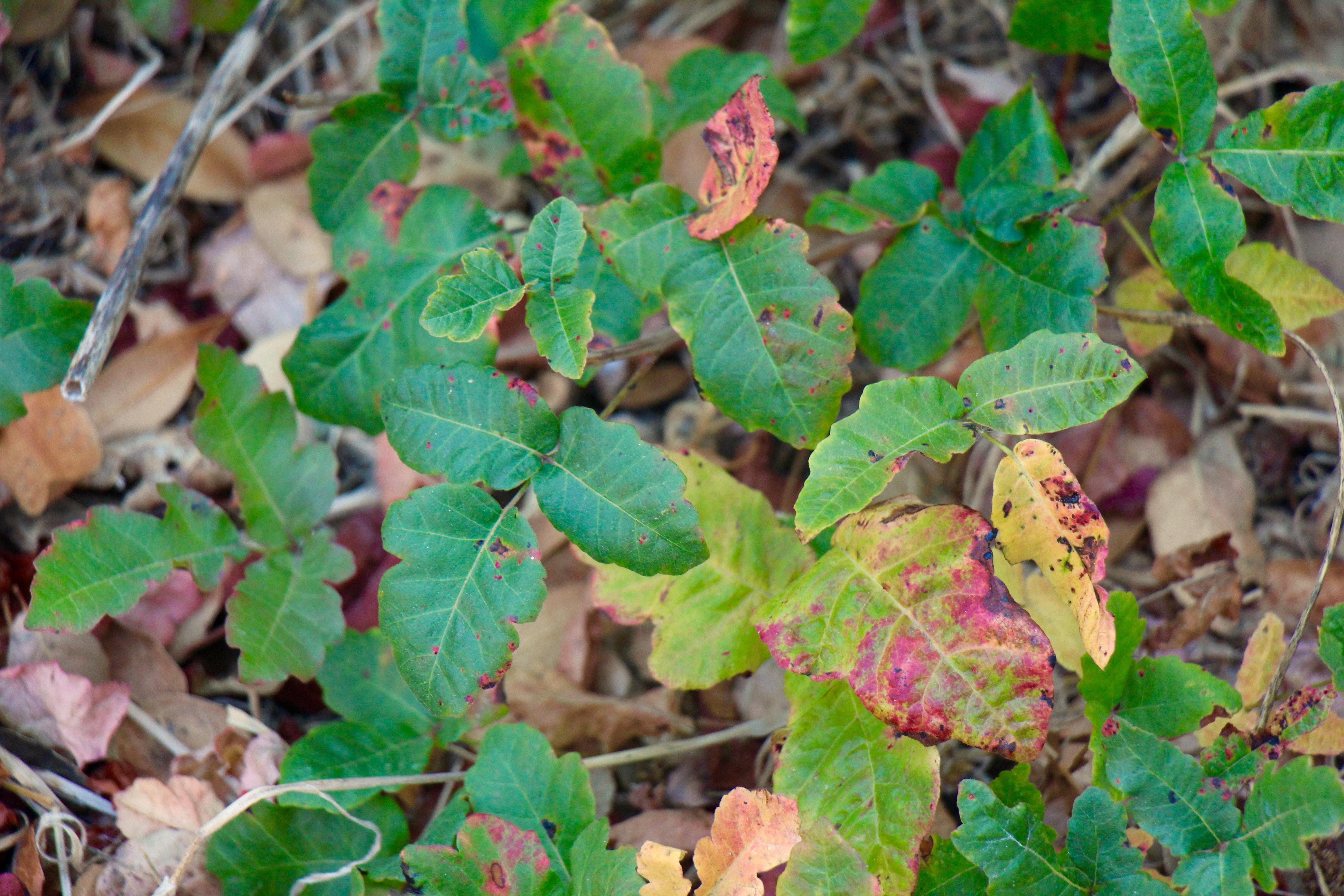5 leaf vine