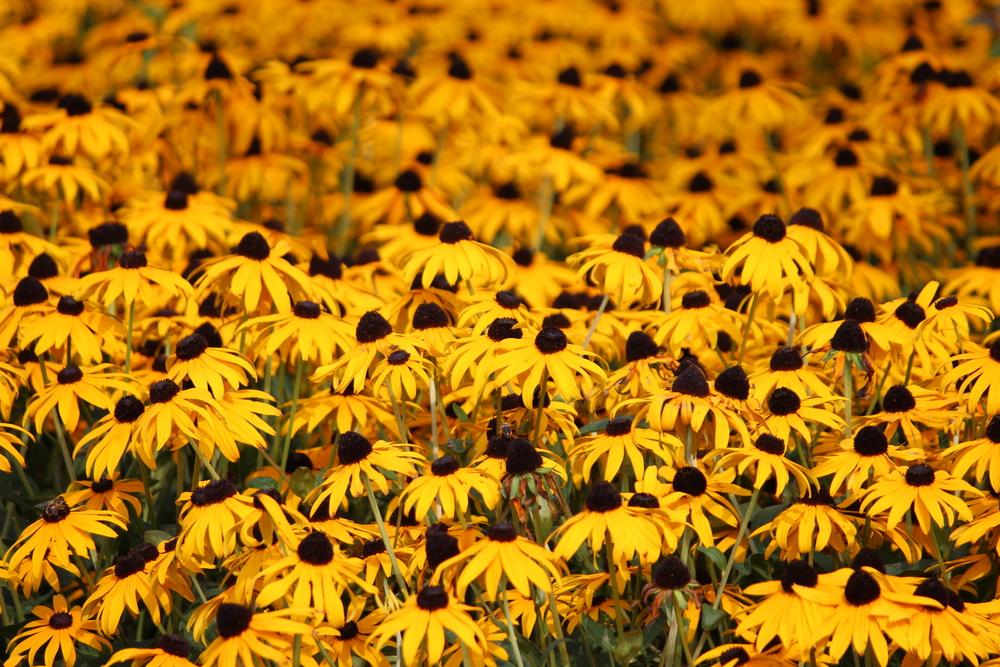 orange coneflower, type of daisy
