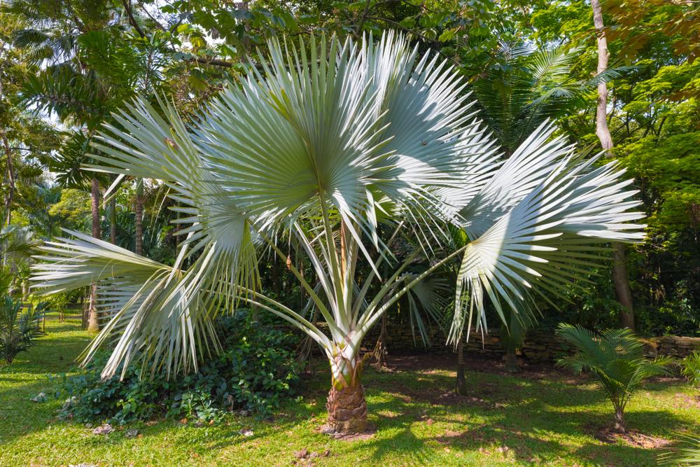 Palms Trachycarpus Fortunei