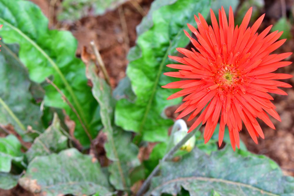 Transvaal daisy (Gerbera jamesonii)