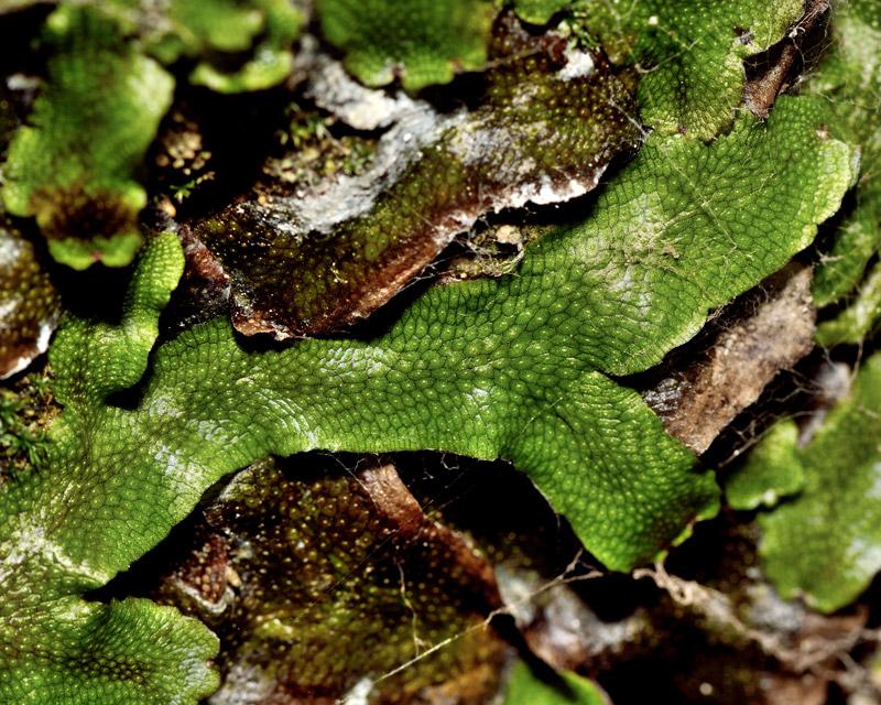 snakeskin liverwort bryophytes plant group