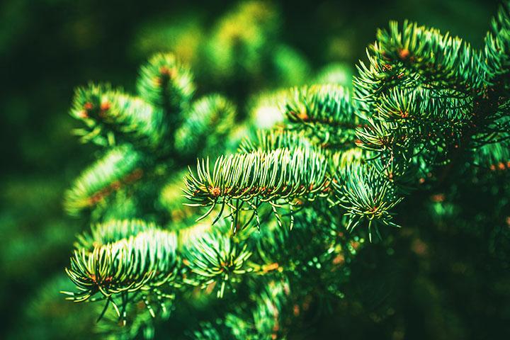 spruce tree gymnosperms plant group