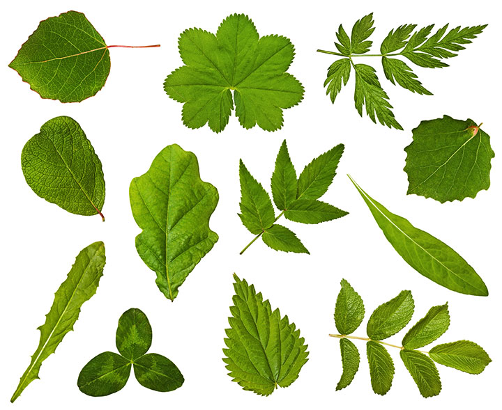 types of leaves angiosperms plant group