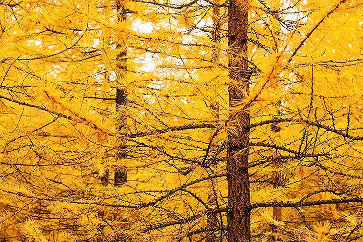 yellow larch trees gymnosperms plant group