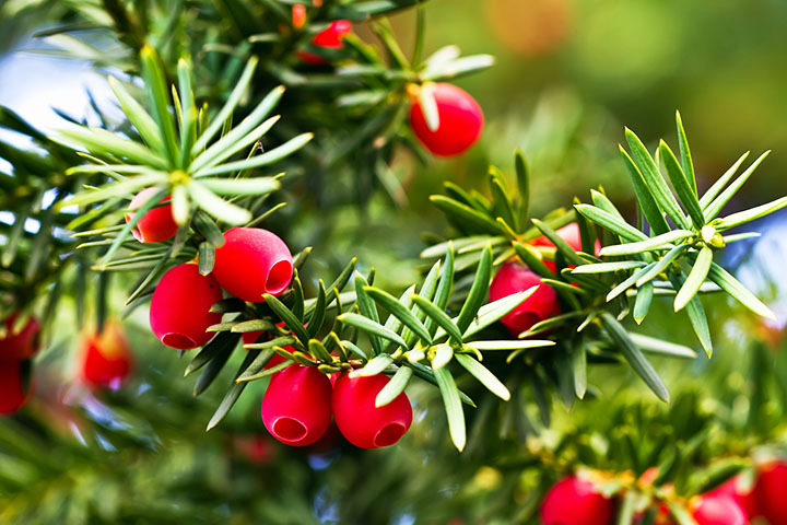 yew berries gymnosperms plant group