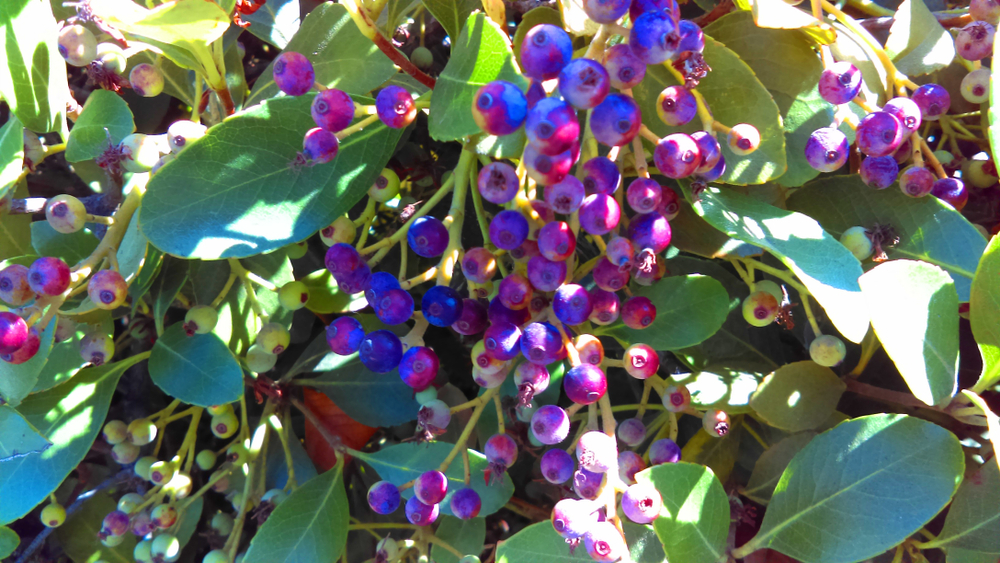Inkberry Holly Plant