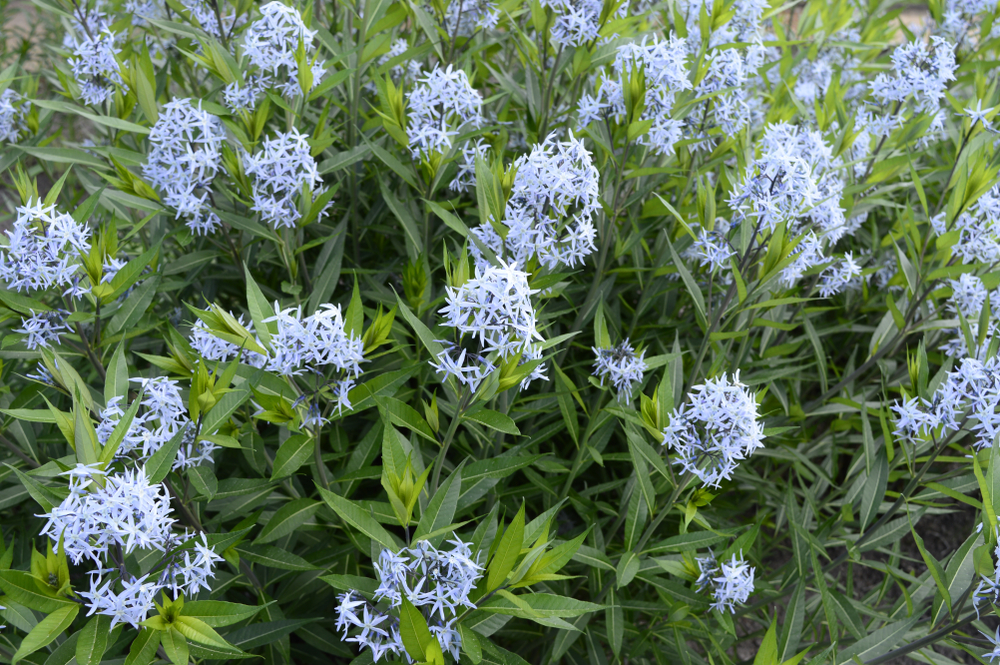 Amsonia bush