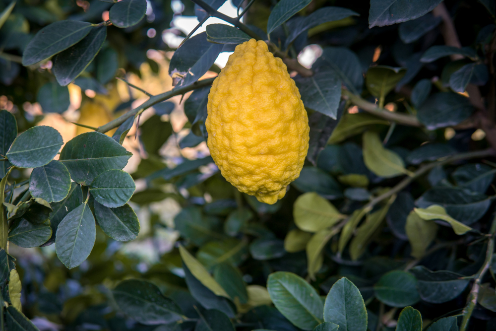 Greek Citron