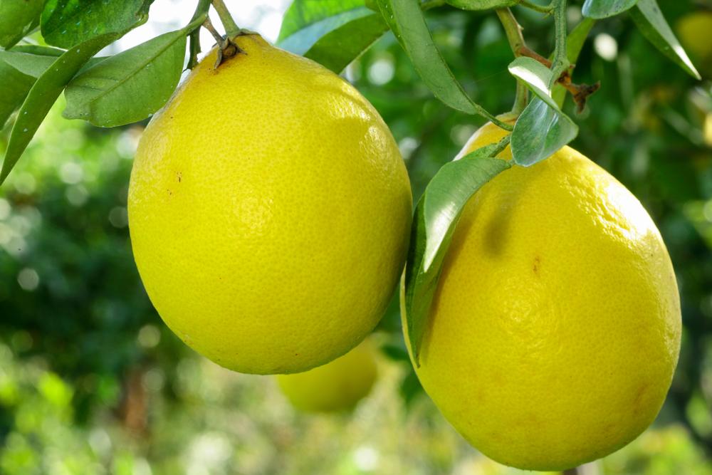 30 Different Types of Lemons (All Lemon Varieties)