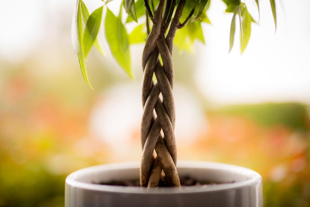 money tree braided trunk