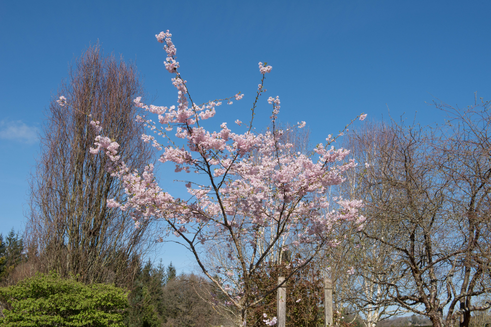 Autumnalis Cherry Tree