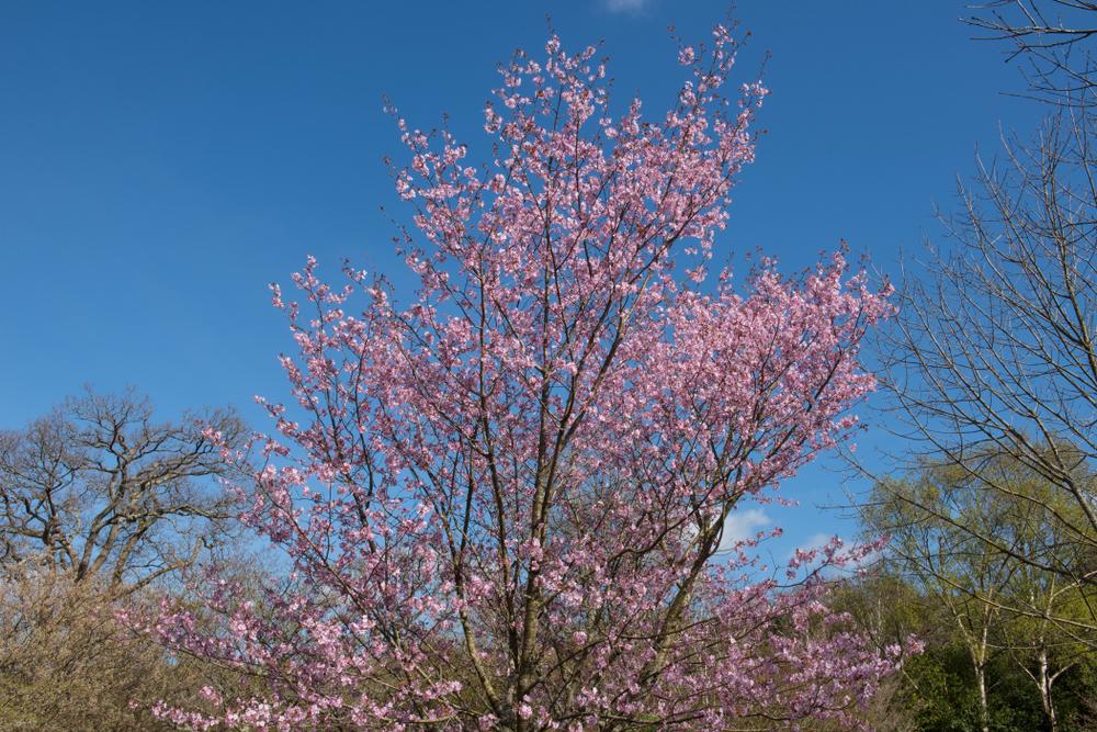Sargent Cherry - Prunus sargentii