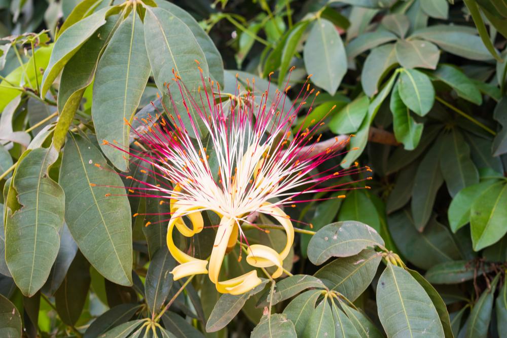 money tree flower