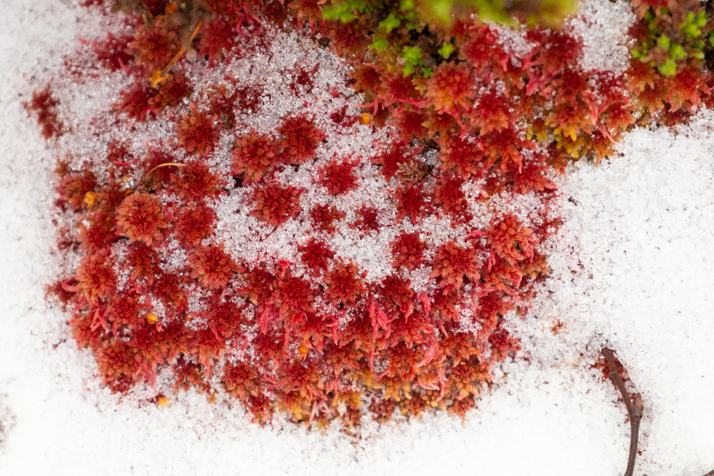 Red Sphagnum moss in snow