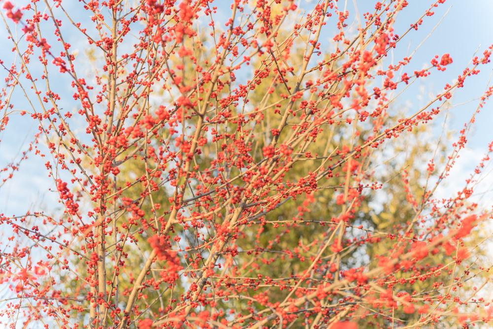 Ilex Decidua, winter berry holly