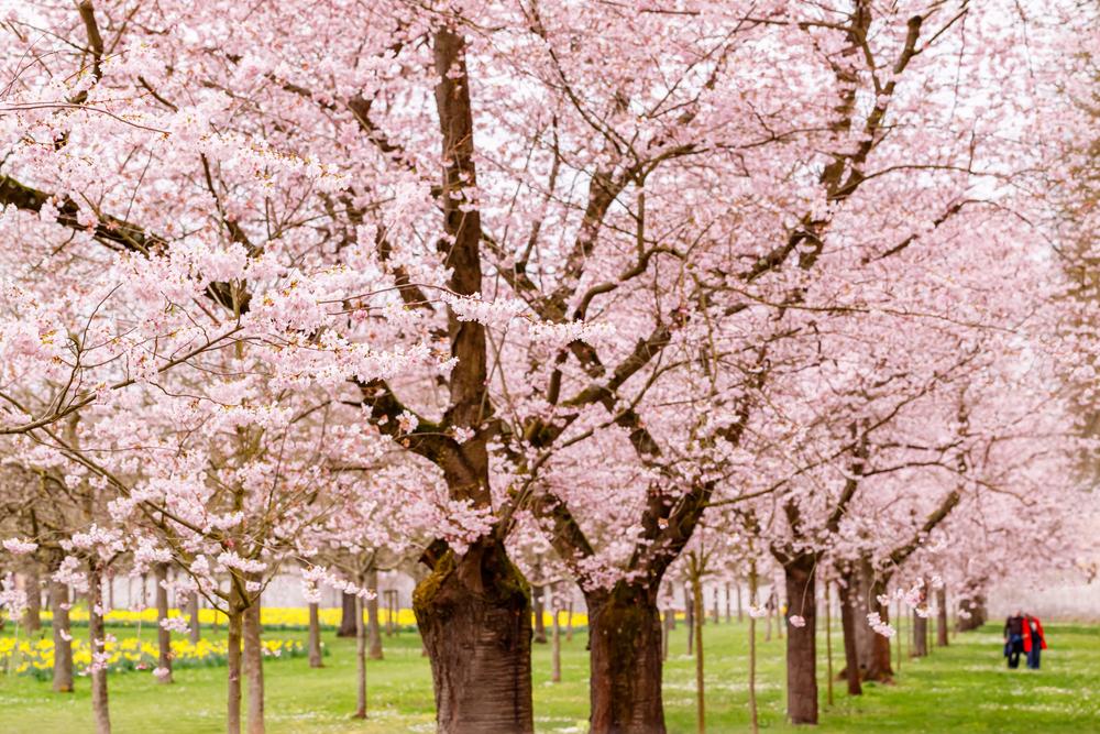 Cherry Blossom - Prunus serrulata