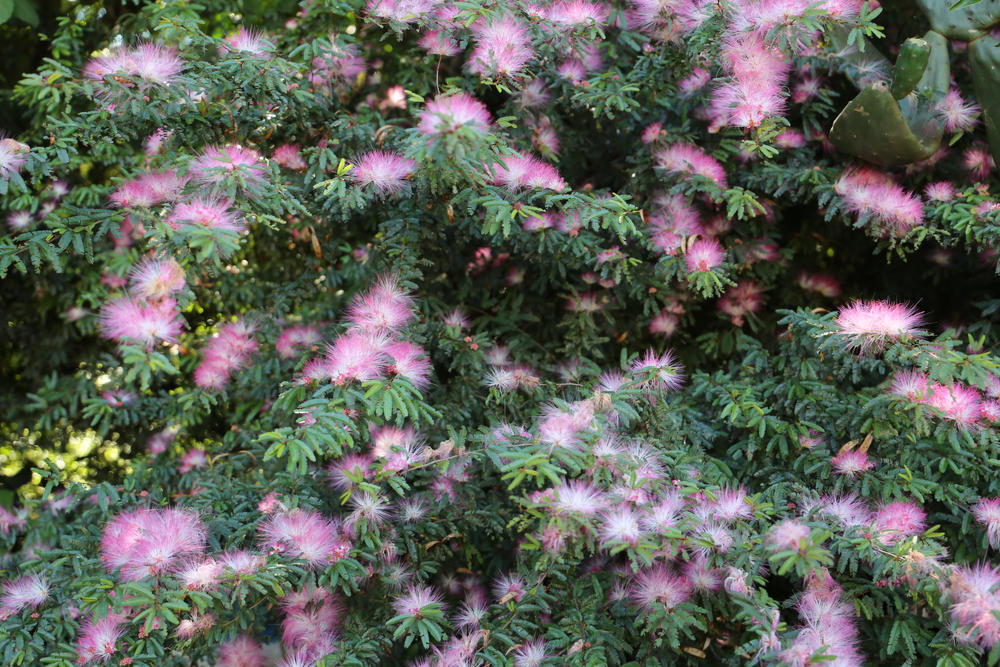 types of bushes, Pink flower Calliandra Brevipes