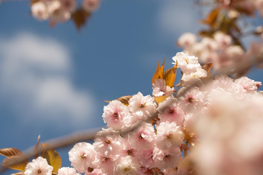 """Shirofugen Cherry - Prunus serulata """"Shirofugen"""""""