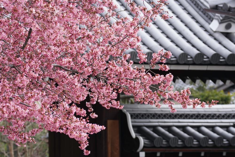 "Okame Cherry - Prunus x ""Okame"""