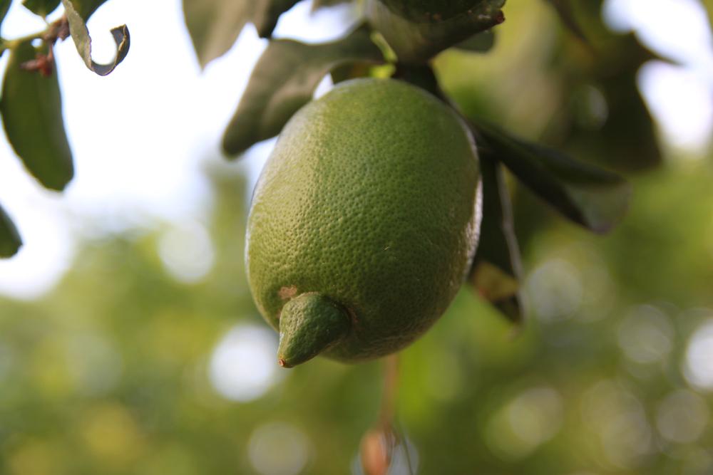 Interdonato Lemon