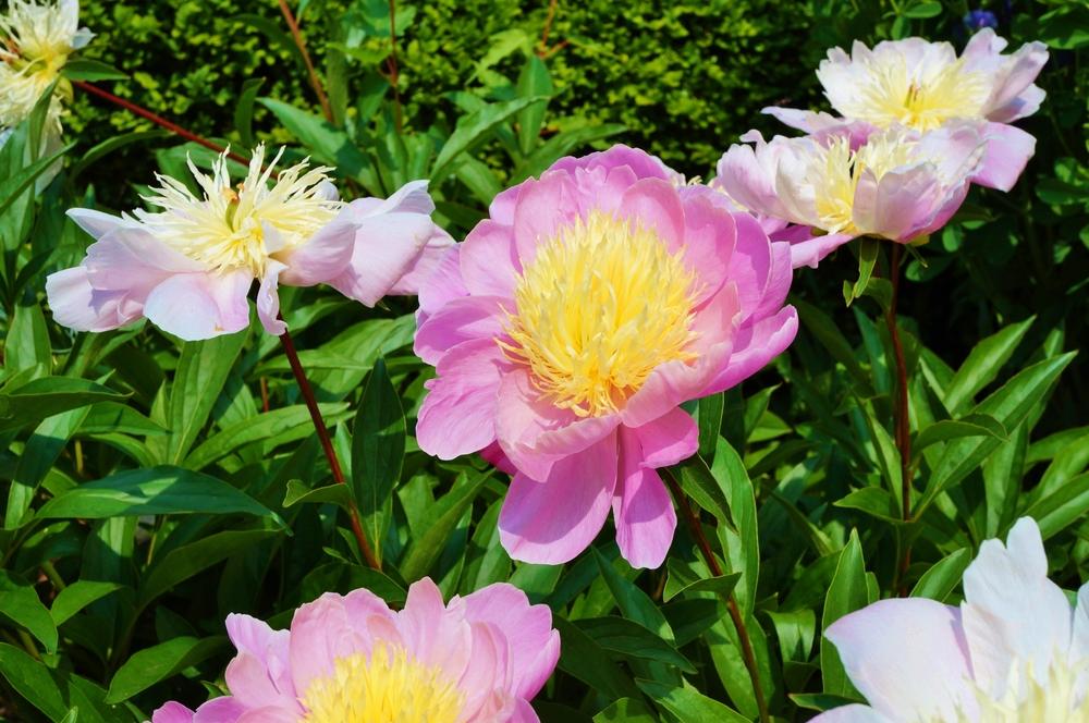 Raspberry Sundae peony flowers