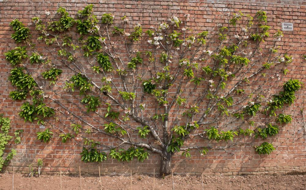Prunus avium 'Stella' (Sweet Cherry Stella)