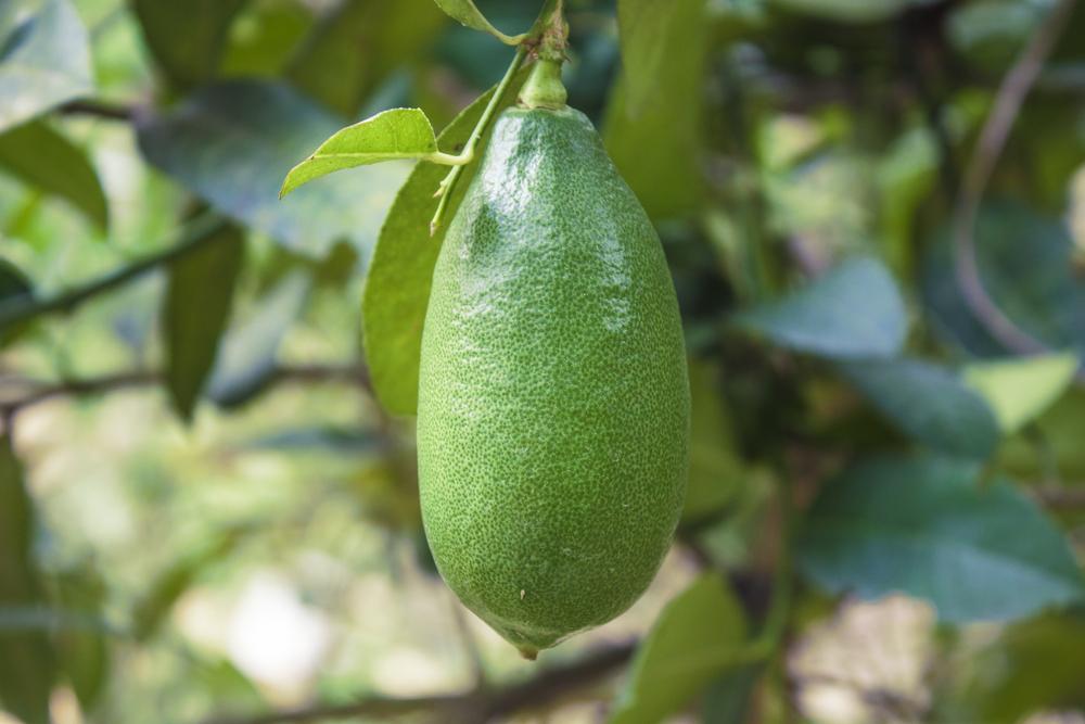 Assam Lemons