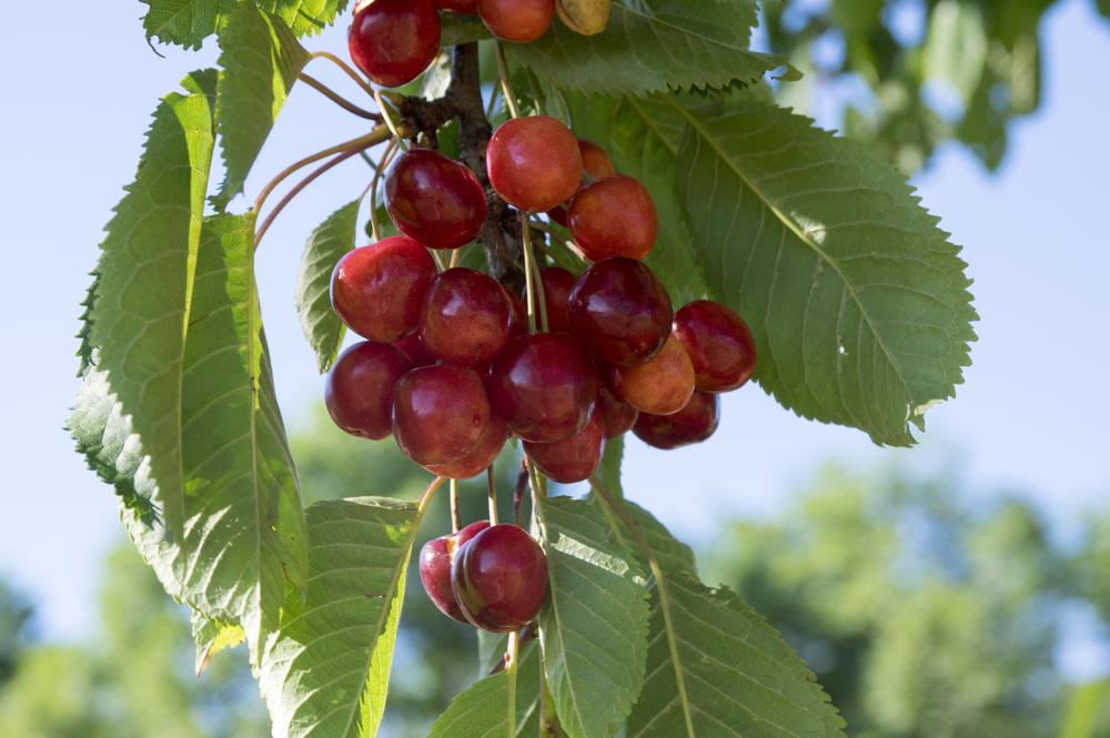 Cherry tree types - Prunus avium