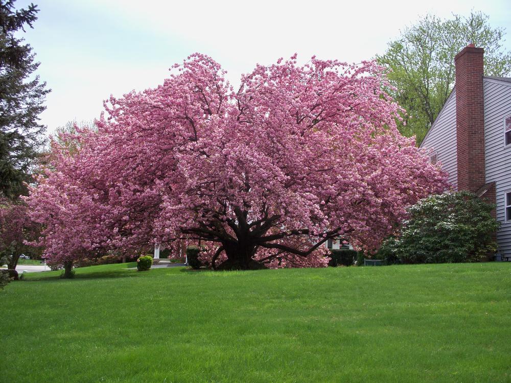"""Kwanzan Cherry - Prunus serrulata """"Kwanzan"""""""