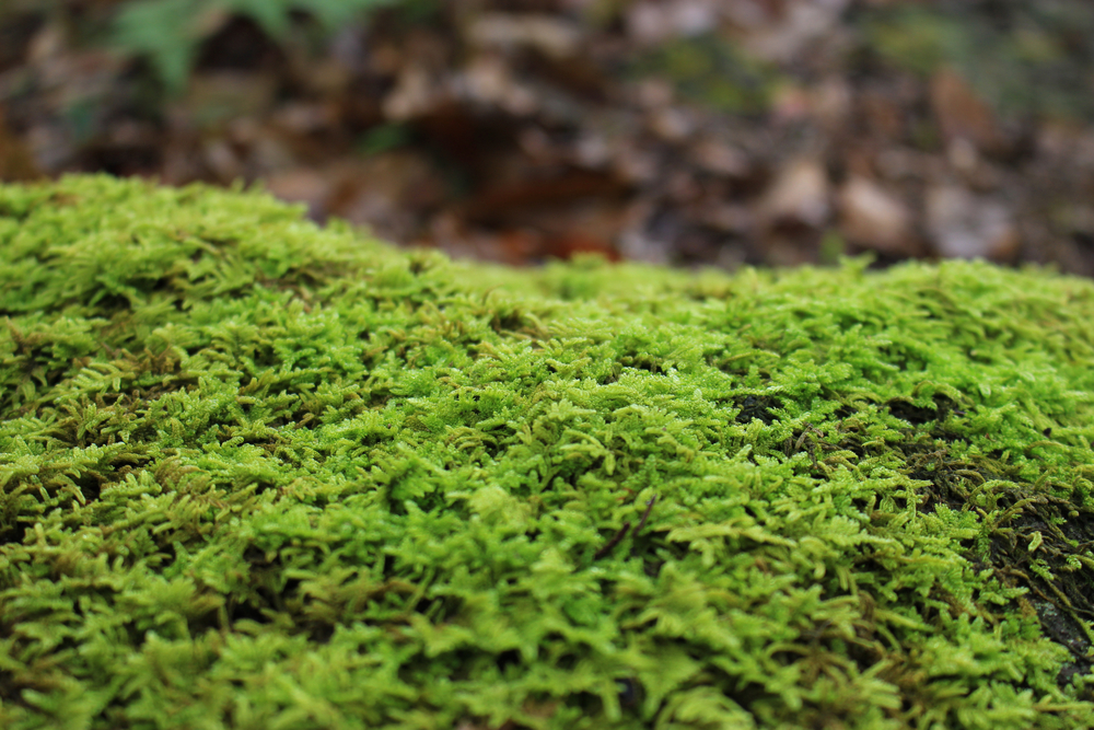 Springy turf moss
