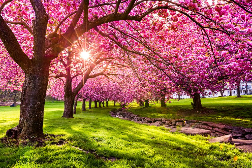 15+ Different Types of Cherry Trees (Cherry Tree Varieties)