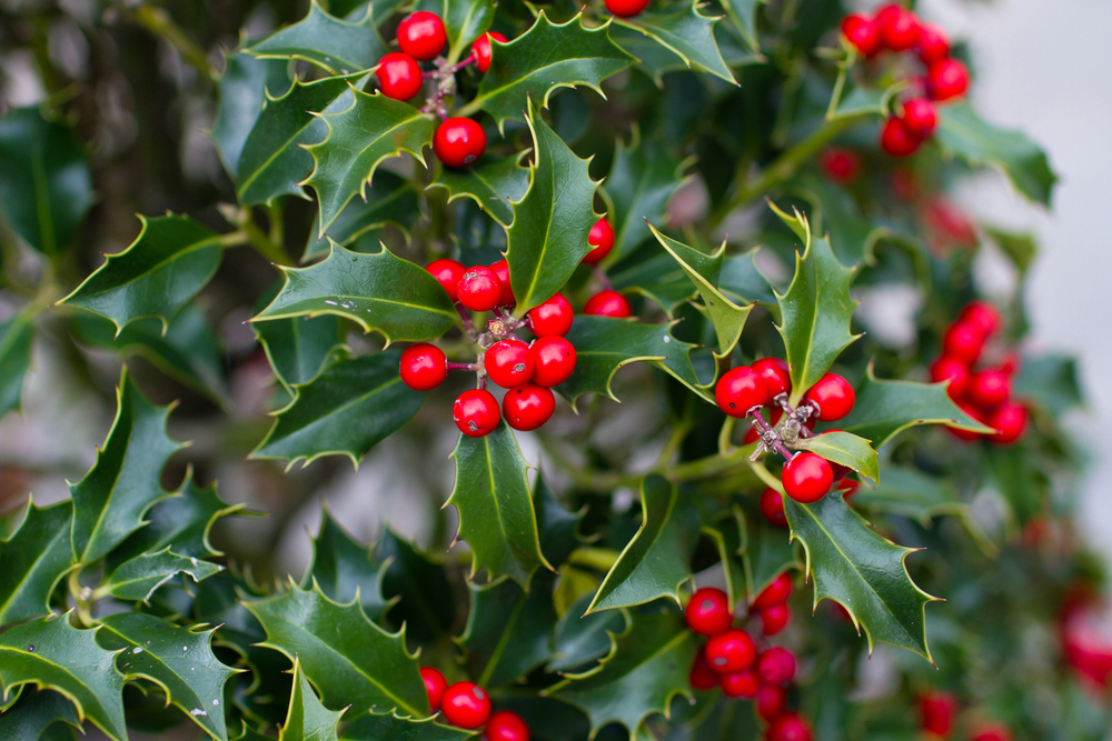 20+ Different Holly Tree Types (Full Holly Varieties List)