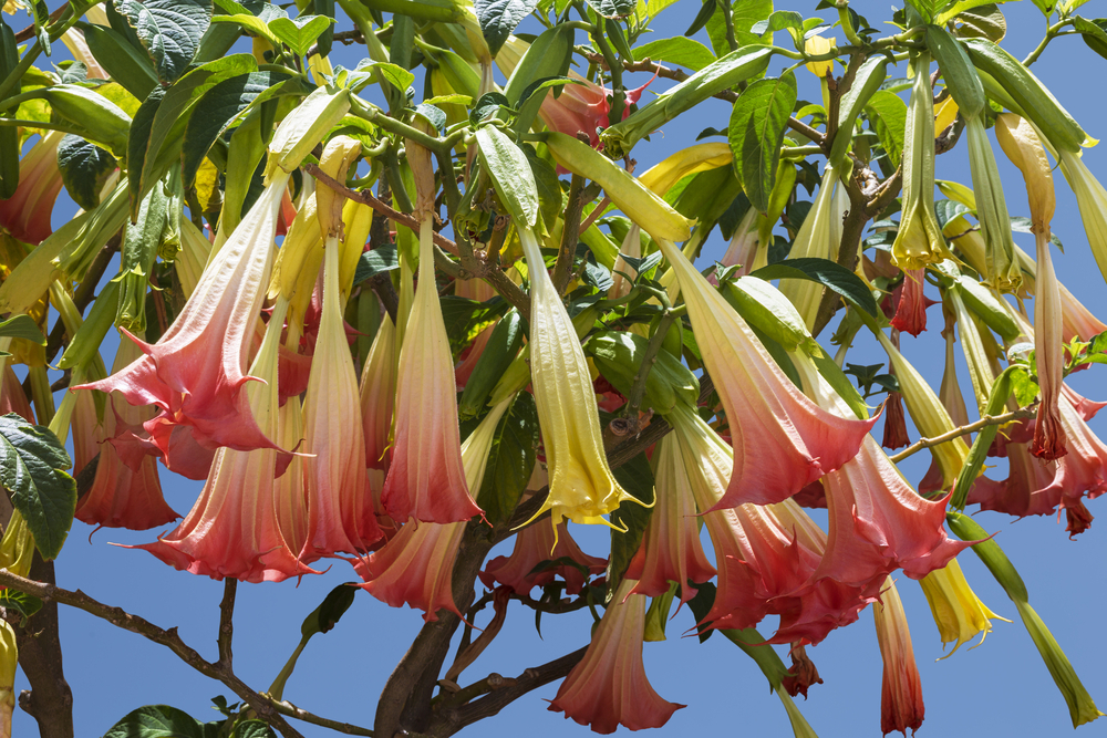 Angels Trumpet bush