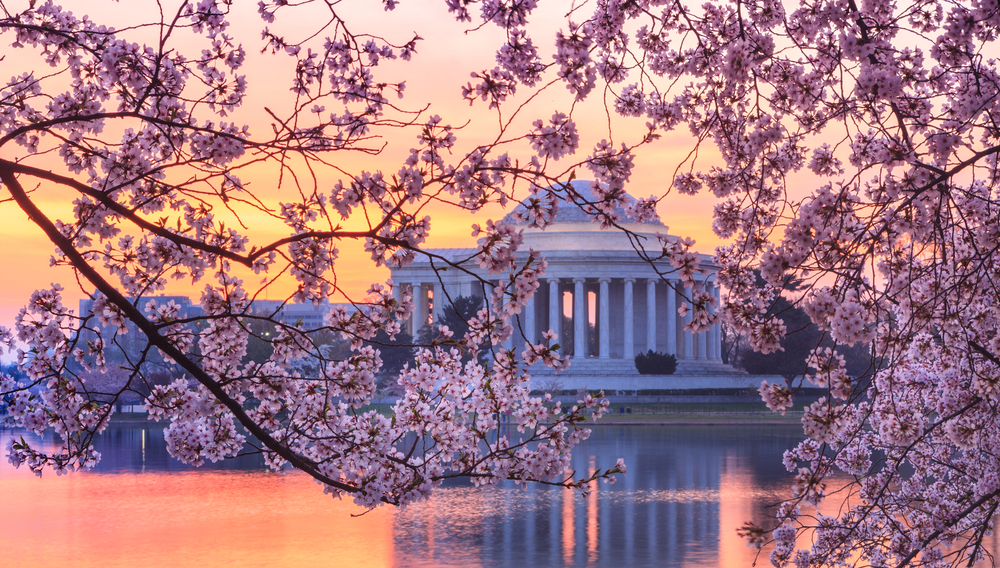cherry tree in DC