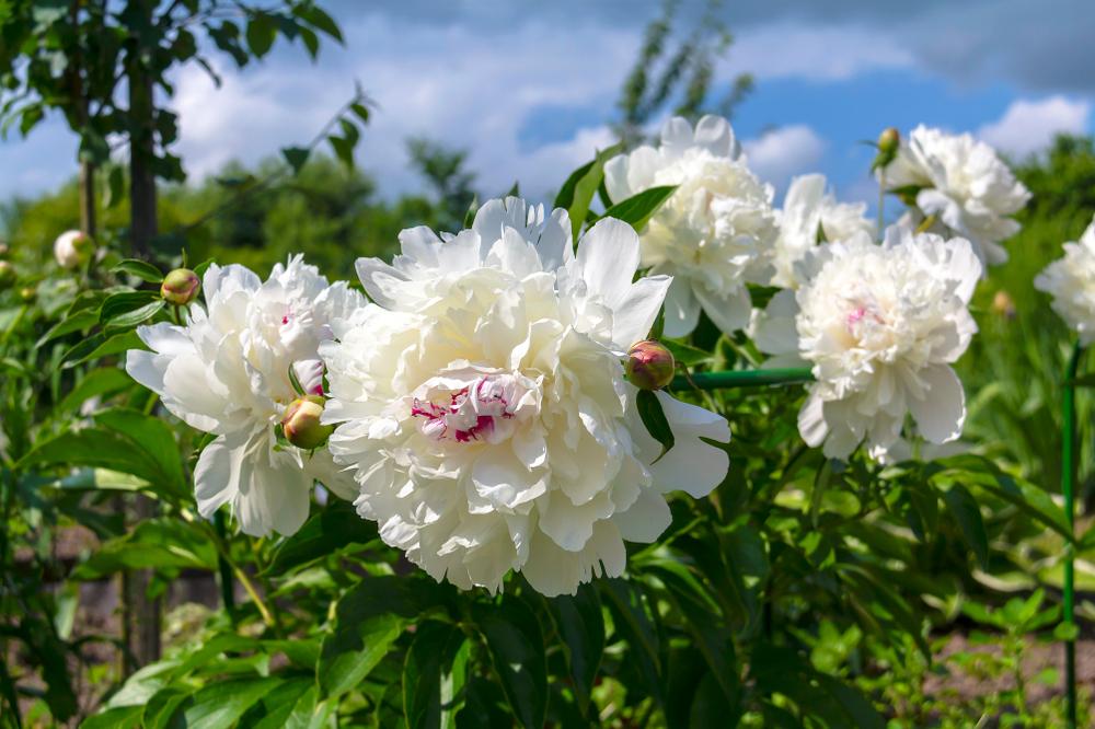 Herbaceous Peonies 'Festiva Maxima'