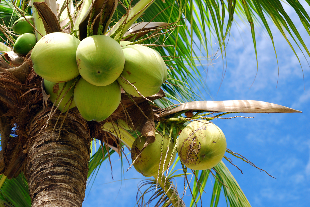 15 Different Types of Coconuts (Dwarf, White, and More!)