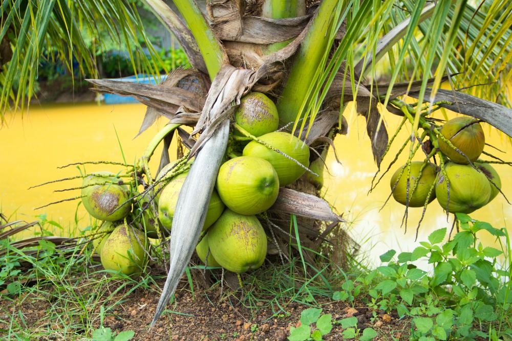 Dwarf Coconut Palms