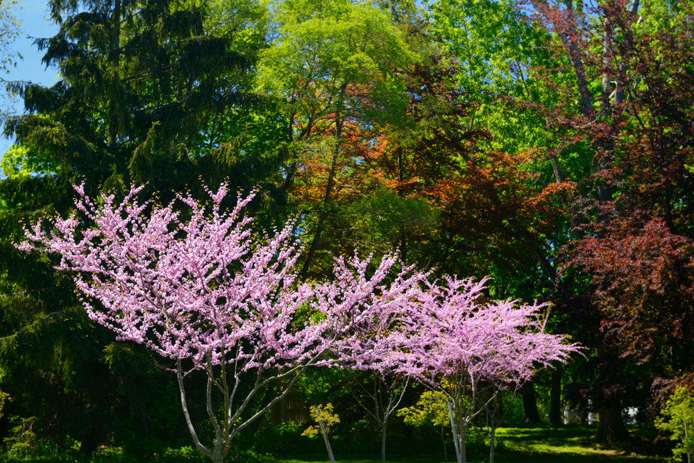 15+ Different Types of Redbud Trees (All Varieties)
