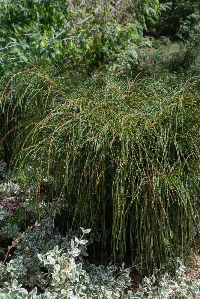 Whipcord Arborvitae