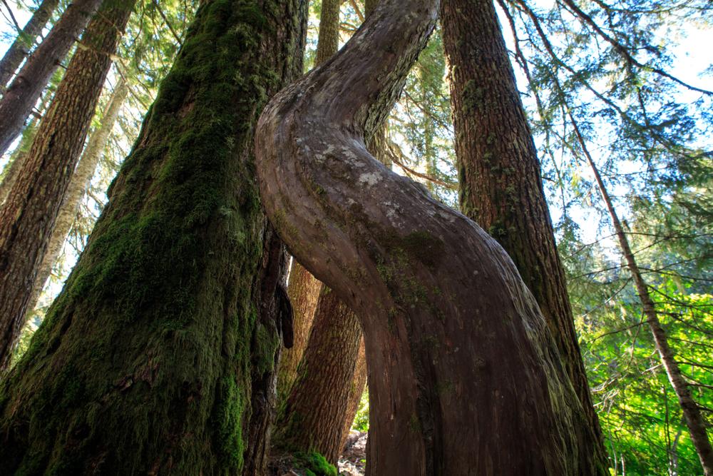 Alaskan Yellow Cedar