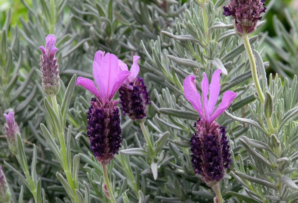 French Lavender or Spanish Lavender