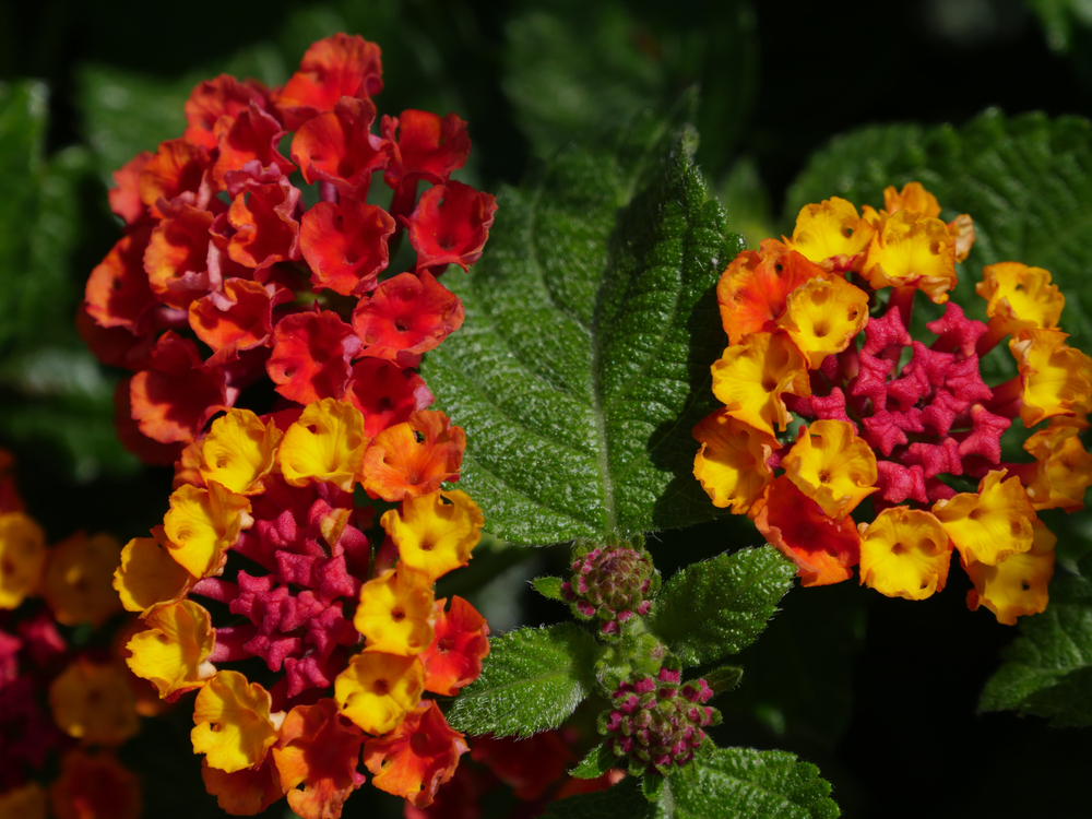 15 Different Types of Lantana (All Lantana Varieties)