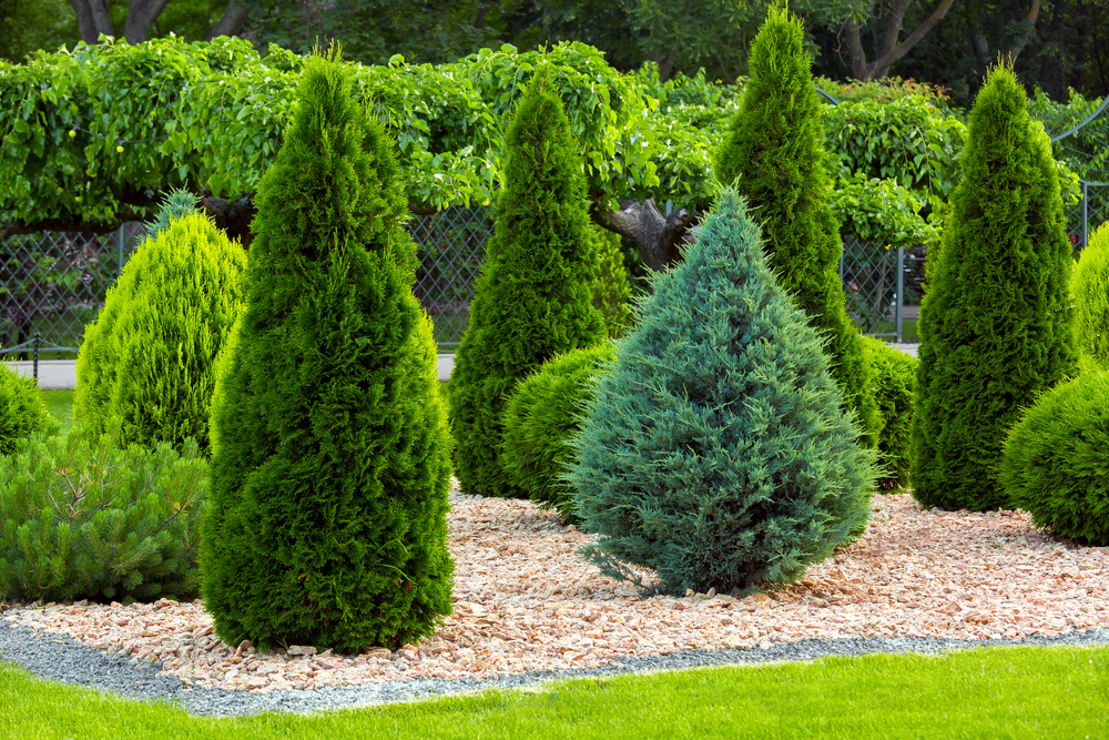15 Different Arborvitae Types, Varieties, and Care