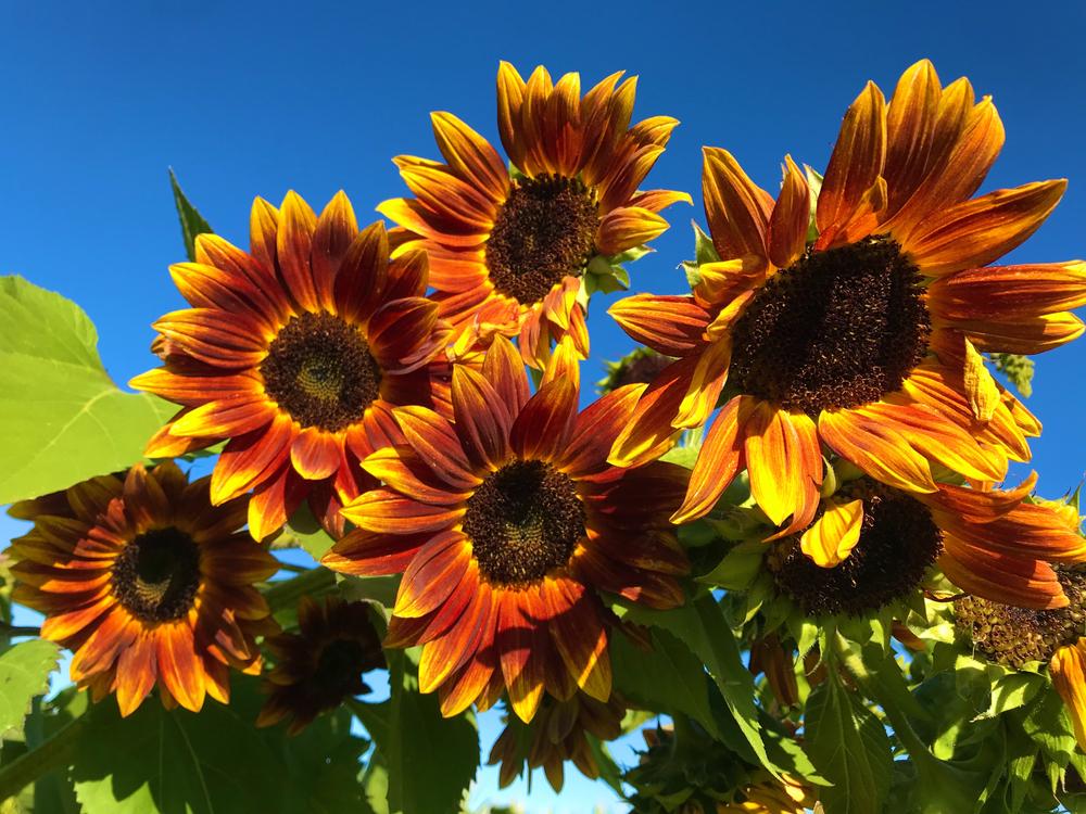 Earthwalker - Types of Sunflowers