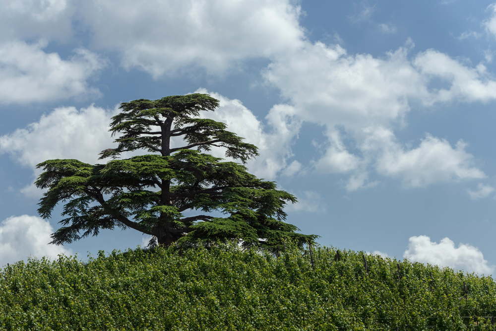 13 Different Types of Cedar Trees (All Cedar Tree Varieties)