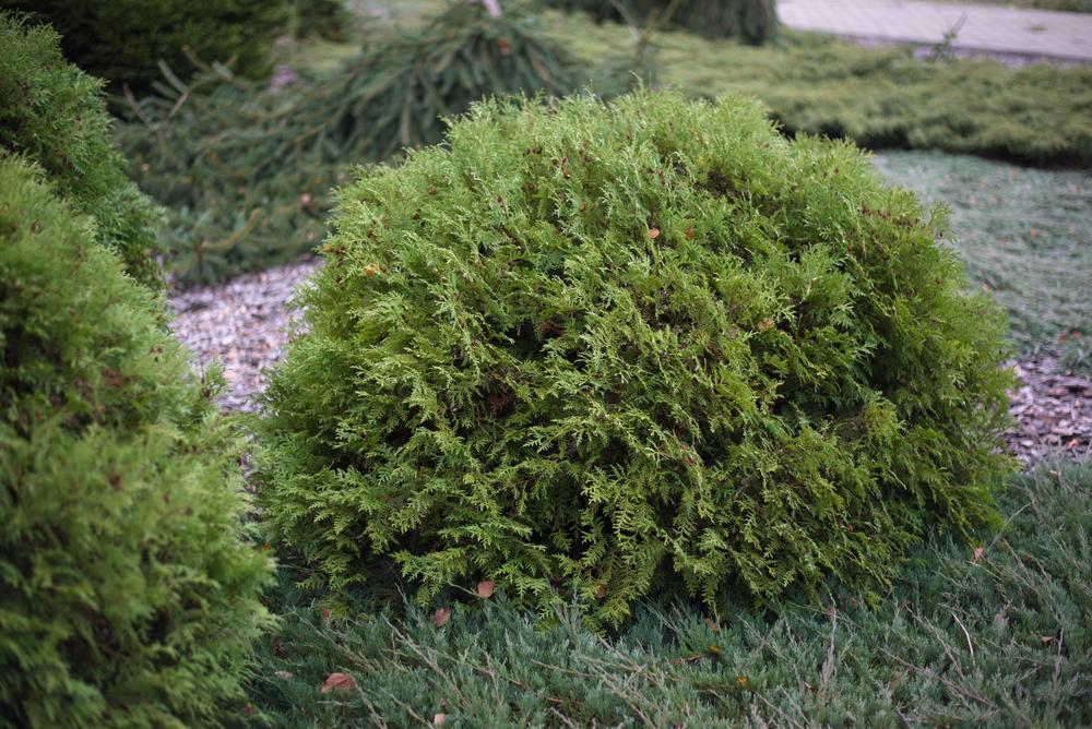 Woodward Globe Arborvitae
