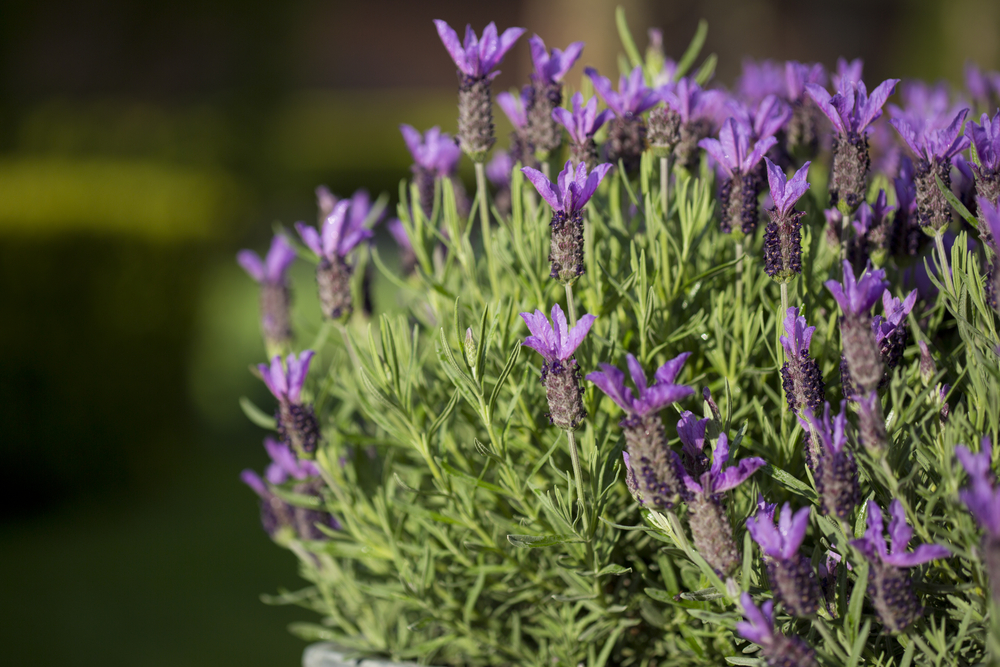 30+ Different Types of Lavender (And Other Varieties)